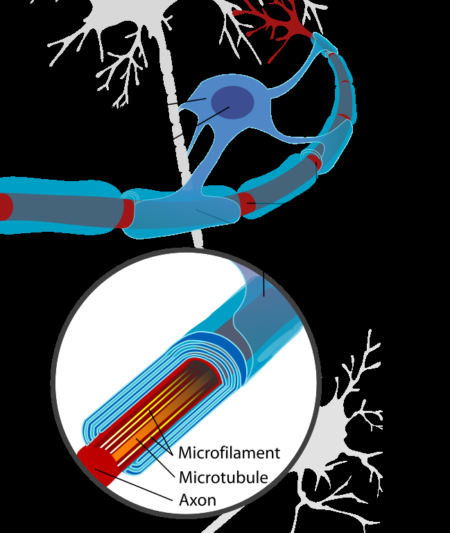 Neuron with oligodendrocyte and myelin