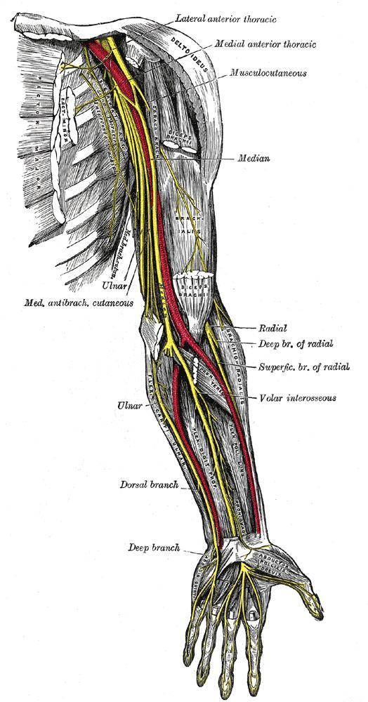 Gray - Nerves of upper extremity