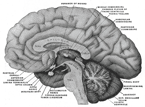 midsagittal section of brain - illustration from Gray's anatomy