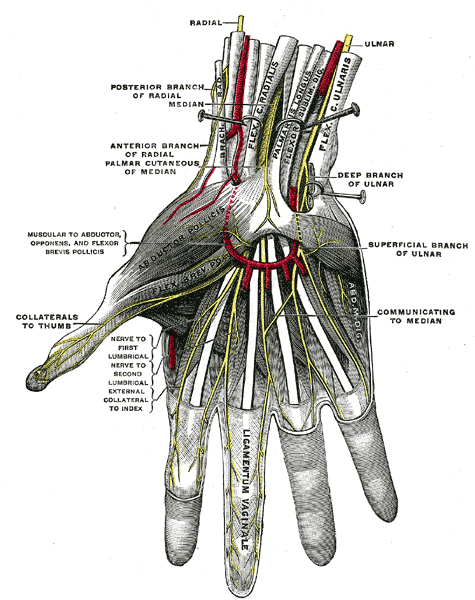 Superfical anatomy of the right hand.