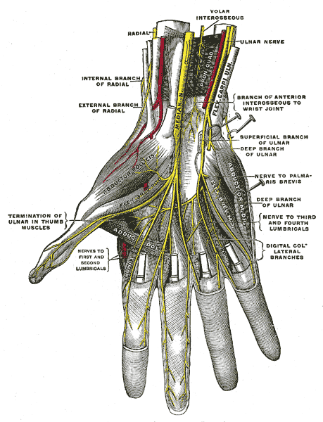 Deep anatomy of the right hand