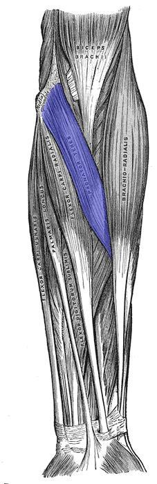 Pronator Teres, Highlighted