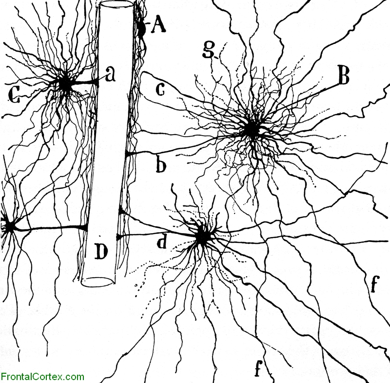 Illustration of an astrocyte