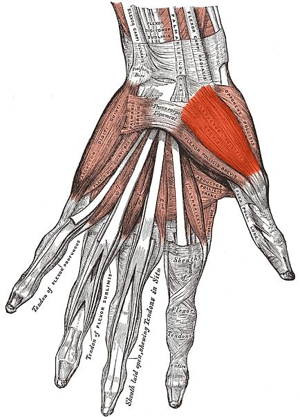 Abductor Pollicis Brevis (APB) Muscle Highlighted