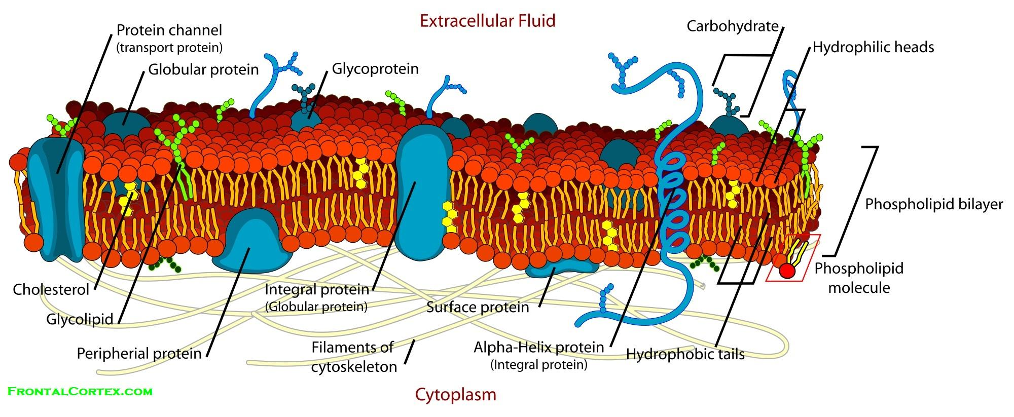 Cell Labeled Diagram Of Cytoskeleton Excellent Electrical Wiring Eukaryotic Plant Fileplant Structurepng Membrane Detailed Rh Frontalcortex Com Rough Endoplasmic Reticulum